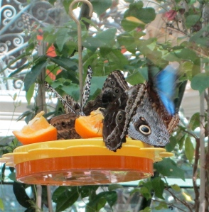 Bellagio Las Vegas: butterflies drinking orange juice