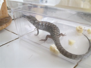 Al the alligator lizard