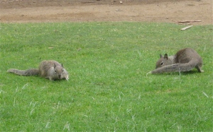 ground squirrels grazing
