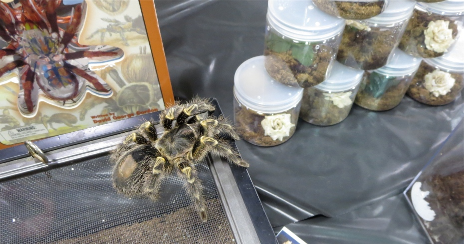 tarantula at Repticon