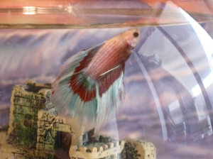 francisco beta fish