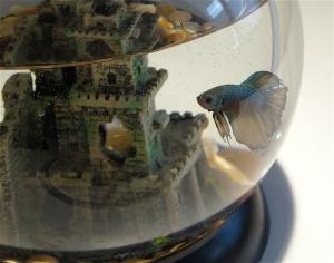 Kato the half moon betta fish