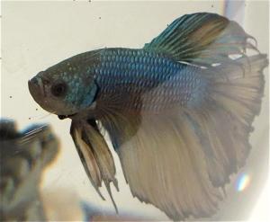 half moon male betta fish Kato