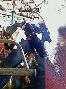 dairy cows in kibbutz Israel