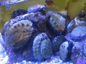 Aquarium of the Pacific abalone
