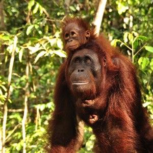 about-orangutans