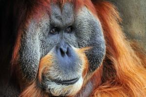 orangutan-1024x682
