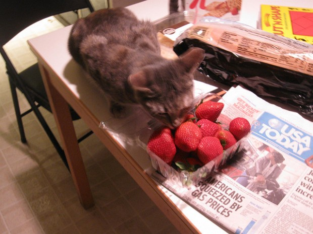 Artemis cat with strawberries