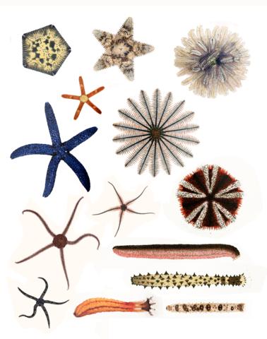 378px-echinodermata