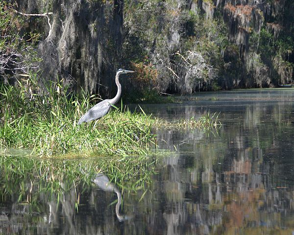 600px-great_blue_heron_5179504700