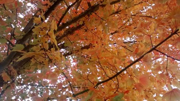 autumn tree McMinnville Oregon