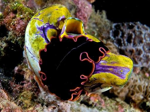 Pserudobiceros_gloriosus_(flatworm)_on_Polycarpa_aurata_(Seasquirt)